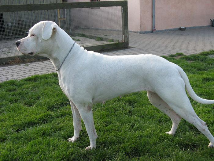 Tamanho Dogo Argentino