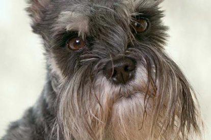 Schnauzer Miniatura bigode