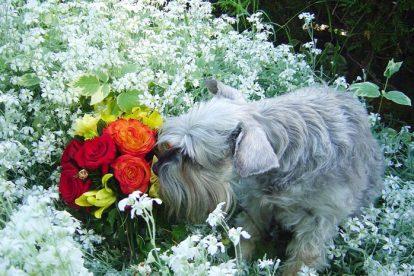 Schnauzer Miniatura cheirando flores