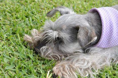 Schnauzer Miniatura deitado na grama