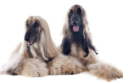 Cachorros Afghan Hound
