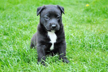 Cachorro preto filhote