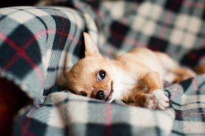 Chihuahua deitado