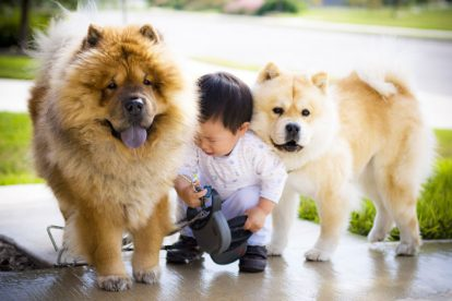 Chow Chow com criança