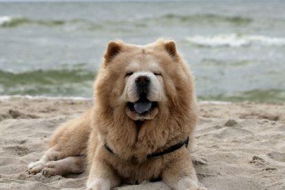 Chow Chow na praia