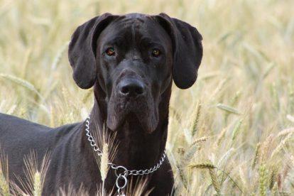 Dogue Alemão preto adulto