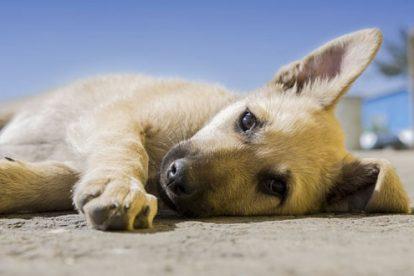 Filhote de cão