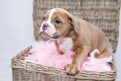 Filhote de cão no cesto