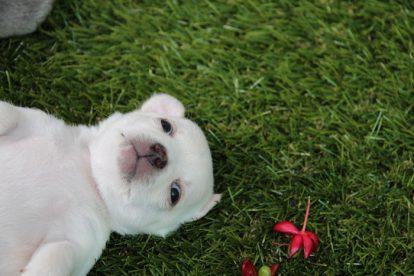 Filhote Chihuahua