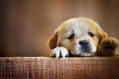 Filhote de cachorro pequeno