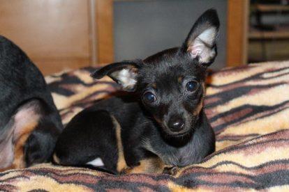 Filhote Pinscher Miniatura preto