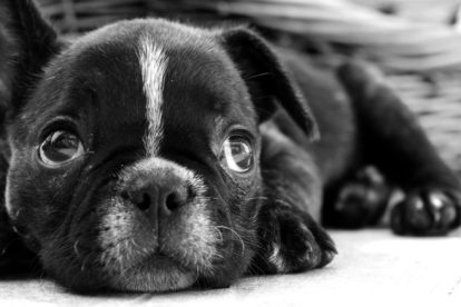 Filhote de cachorro preto