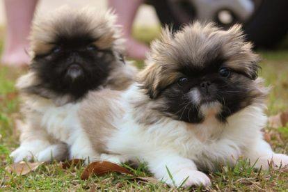 Filhotes de cachorro Pequinês