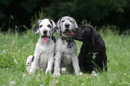 Filhotes Dogue Alemão arlequim