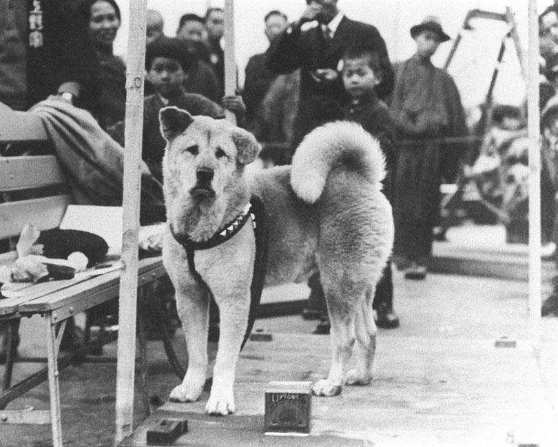 Hachiko Akita