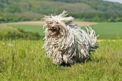 Komondor correndo no campo