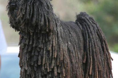 Komondor preto