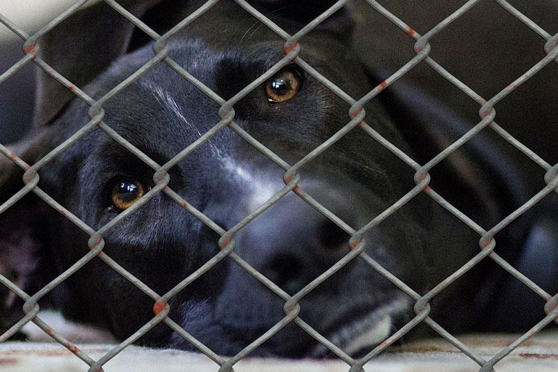 Mercado ilegal de cachorros