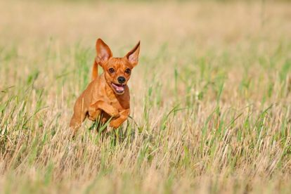 Pinscher Miniatura marrom correndo