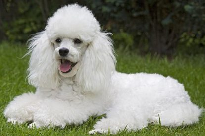 Poodle branco deitado na grama