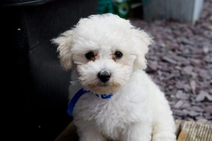 Poodle toy pequeno