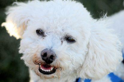 Poodle branco sorrindo