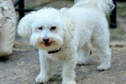 Poodle branco adulto