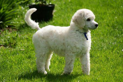 Poodle branco na grama