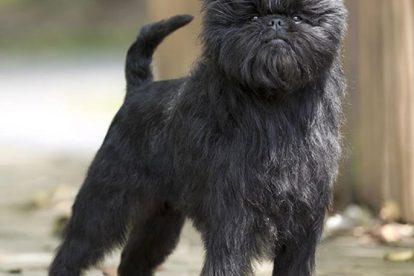 Affenpinscher grande
