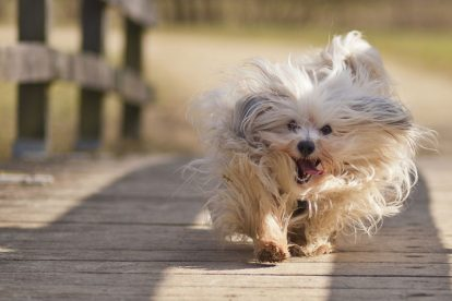 Bichon Havanês correndo