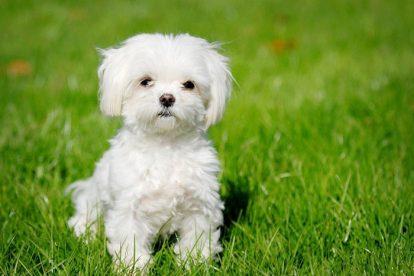 Bichon Havanês filhote branco