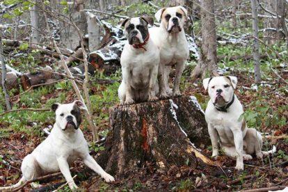 Cachorros Buldogues Americanos