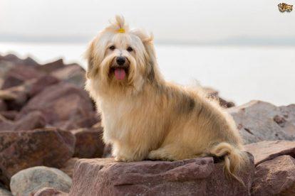 Cachorro Bichon Havanês