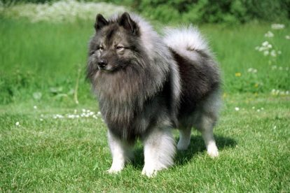 Cachorro Keeshond