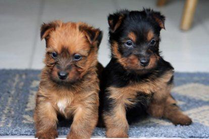Filhotes de Terrier Australiano