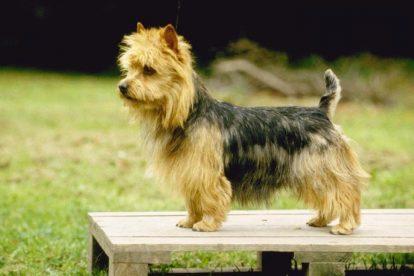 Foto Terrier Australiano