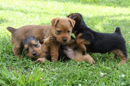 Ninhada Terrier Australiano
