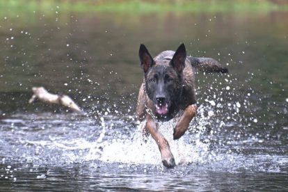 Pastor-Belga Malinois correndo na água