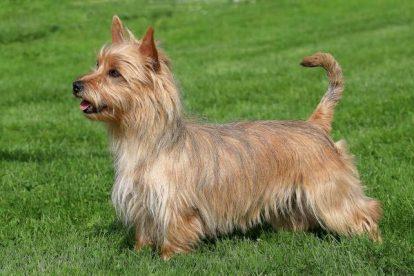 Terrier Australiano adulto