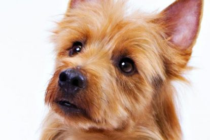 Terrier Australiano foto