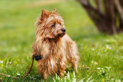 Terrier Australiano na grama