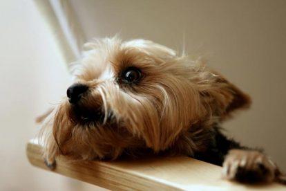 Terrier Australiano pequeno