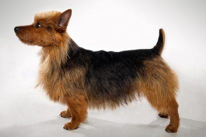Terrier Australiano perfil