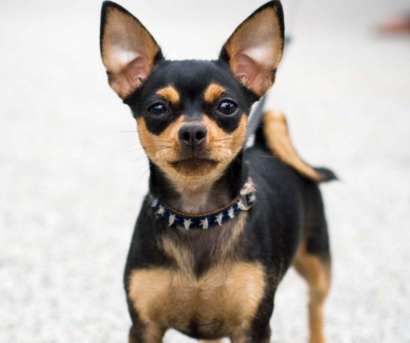 Chihuahua-preto