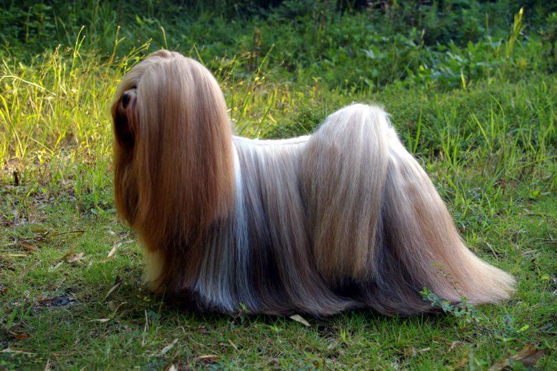 Lhasa-Apso-dog