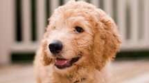Cachorros hipoalergênicos - Labradoodle