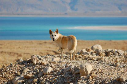 Cão de Canaã fotografia
