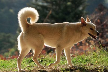 Cão de Canaã grande