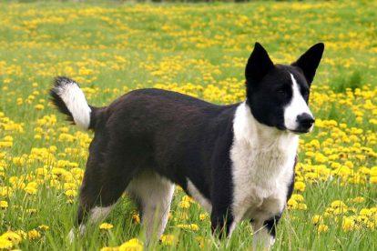 Cão de Canaã no jardim