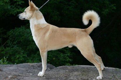 Cão de Canaã perfil